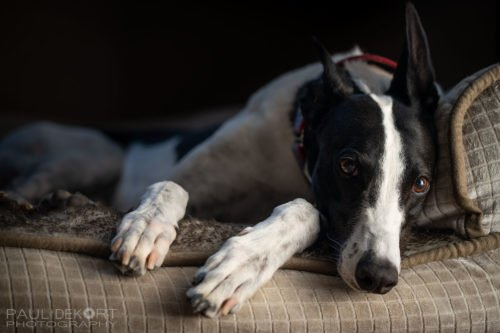 greyhound_comet_pet_photo_web1200