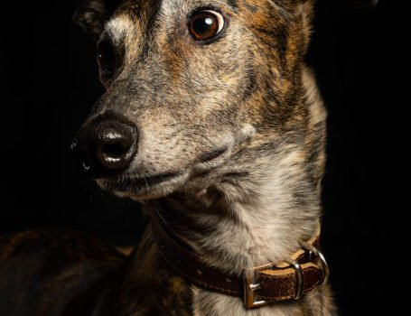 greyhound luna pet photo