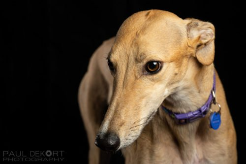 greyhound sydney pet photography