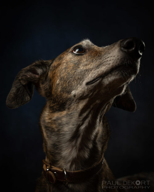 Luna-looking-up-greyhound-pet-photography